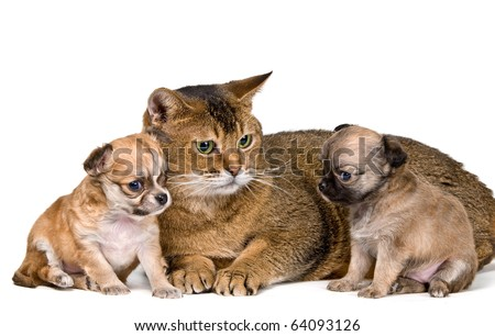 Cat and puppies of the chihuahua in studio