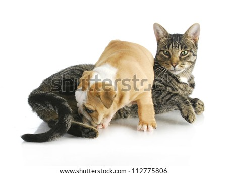 cat and puppy interacting - english bulldog puppy climbing on mixed breed cat on white background - stock photo