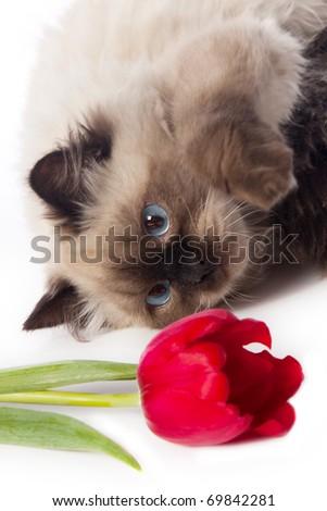 cat and tulip - stock photo