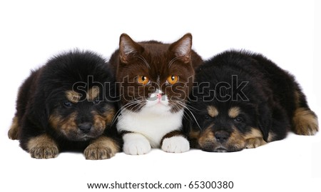 Cat and two pup on a white background. - stock photo