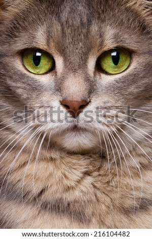 cat beauty  face portrait of a silver grey tiger cat with green eys - stock photo