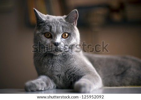 Cat breed British Blue is on the table