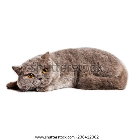 cat breed british short hair,  on white background with shadow - stock photo