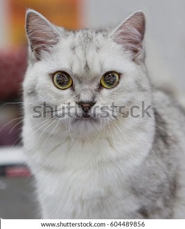 ragdoll kittens for sale in missouri