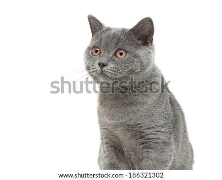 cat (breed Scottish Straight) close-up on white background. horizontal photo. - stock photo