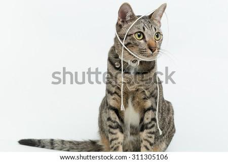 Cat breeds Thailand poses - stock photo