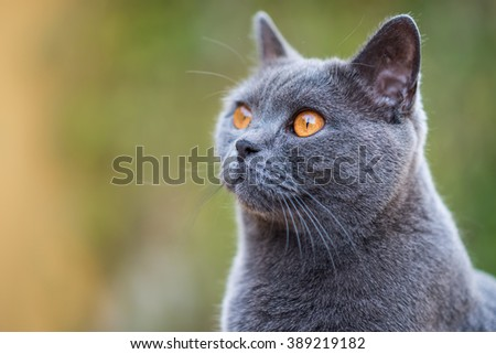 Cat, British 'Blue' Shorthair.  - stock photo