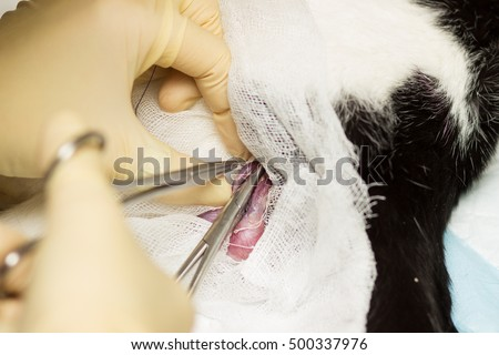 Cat Castration. Eggs, bandage, clamp, thread, gloves, fingers, blood vessels