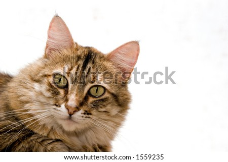 Cat close-up isolated on white background - stock photo