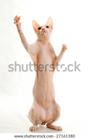 Cat, Don Sphynx breed, standing on hind paws. White background.