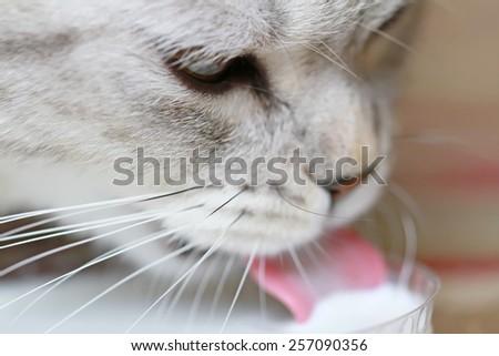 cat drinking milk - stock photo