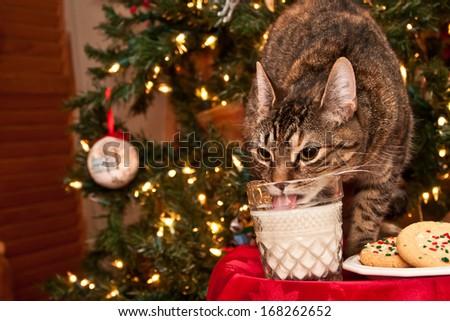 Cat drinking Santa's milk. - stock photo