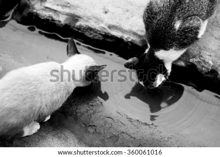 Cat drinking water, black and white tone