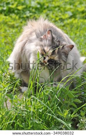 cat eating green grass - stock photo