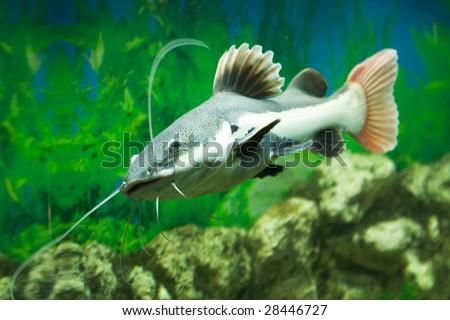 cat-fish, sheat-fish. Phractocephalus hemioliopterus - stock photo