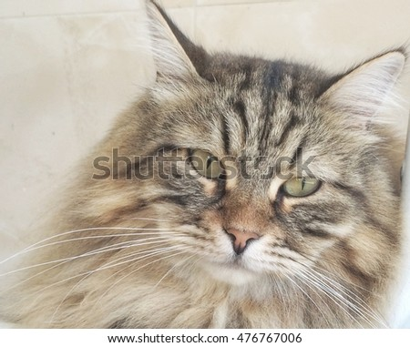Cat foreground, brown siberian breed