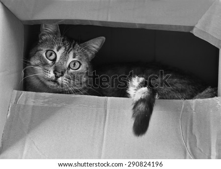 Cat hiding in the box in black and white photo, cat in the box,  curious cat, B&W photo, young beautiful cat - stock photo