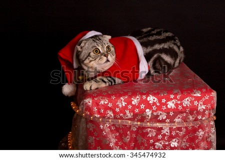 Cat in a suit of Santa Claus / British Shorthair kitten - stock photo