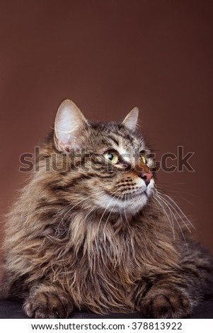 Cat in studio looking away from camera on brown background. Beautiful feline - stock photo