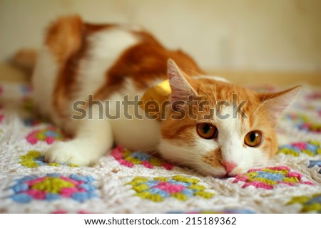 Cat indulges and closely monitoring the reaction of the mistress  - stock photo
