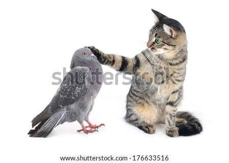 cat irons a paw of a pigeon on a white background - stock photo