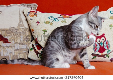cat is licking its paws - stock photo
