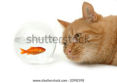 Cat is looking at a fish in a bowl. Note the fish is still alive and in well being. - stock photo