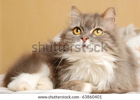 cat is lying on bed and looking upwards - stock photo