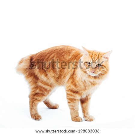 Cat isolate on white. Beautiful Red cat on white background. Kuril Bobtail Cat on a white background. Kuril Bobtail Cat on an isolated background. - stock photo