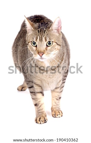 cat isolated in white background