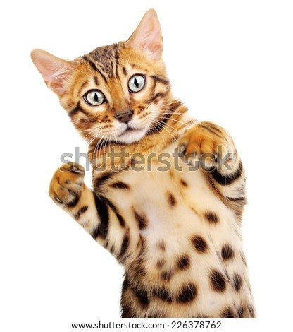 Cat isolated on white background. Bengal kitten - stock photo