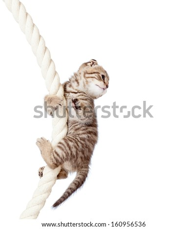 cat kitten climbing on rope isolated on  white background