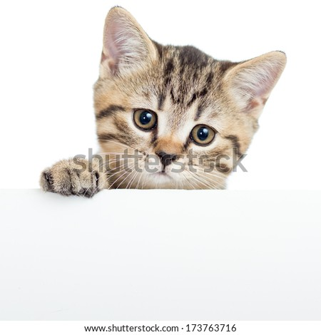 Cat kitten hanging over blank poster or board,  isolated on white - stock photo