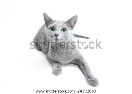 Cat (kitten) of breed Russian blue on a light background