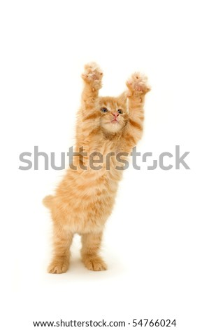cat kitten pet animal funny jumping play isolated on white background