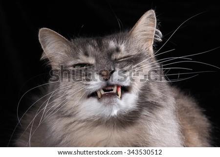 Cat laughs. Portrait of a smiling cat. Big Shot. Cat smiles visible fangs. The cat hisses. Cat grins  - stock photo
