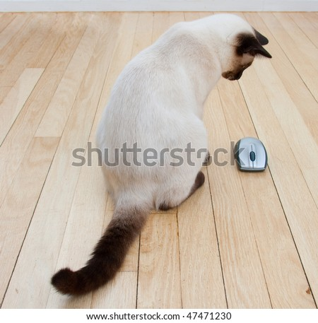 Cat looking at a computer mouse laying on a hardwood floor - stock photo