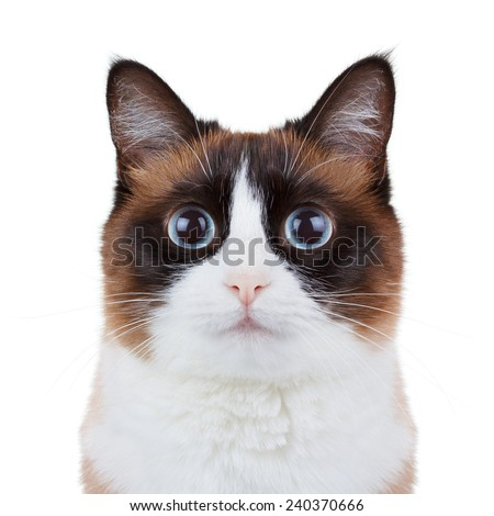 Cat looking in camera portrait closeup - stock photo