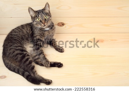 Cat lying on the wood floor with copyspace. - stock photo
