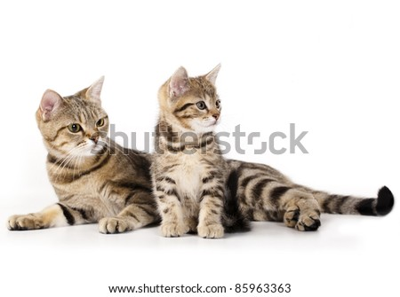 Cat mother and the little kitten European breeds - stock photo