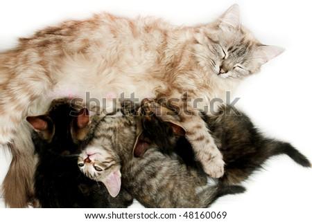 Cat nursing her kittens - stock photo