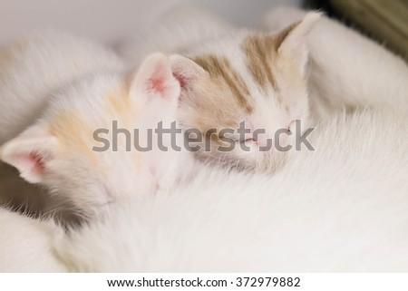 Cat Nursing her Kittens.focus selective - stock photo