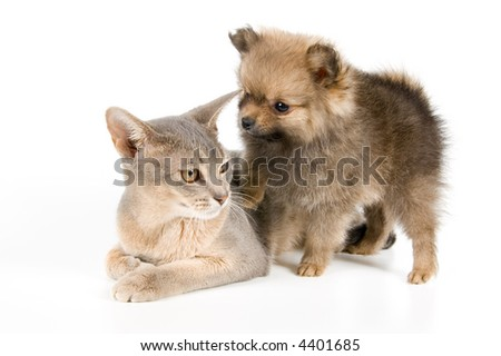 Cat of Abyssinian breed and the puppy of the spitz-dog