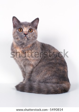 Cat of blue-cream color with yellow eyes - stock photo