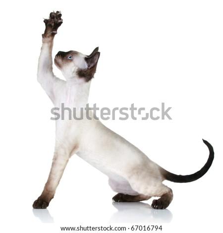 Cat of breed Devon-Rex pulls paw upwards - stock photo