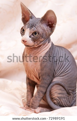 Cat of breed Don the Sphynx - stock photo