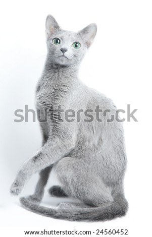 Cat of breed Russian blue on a light background