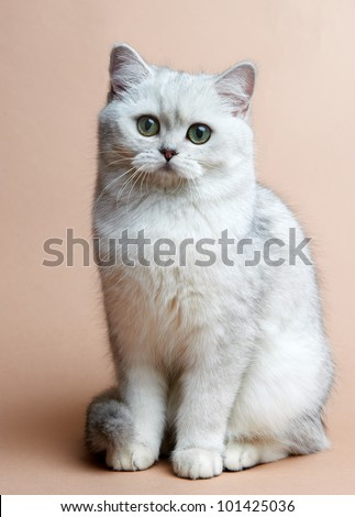 Cat of the British breed. Rare coloring - a silvery chinchilla