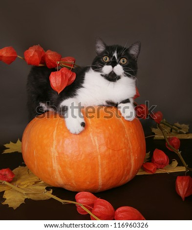 Cat on a pumpkin in the autumn still life. - stock photo