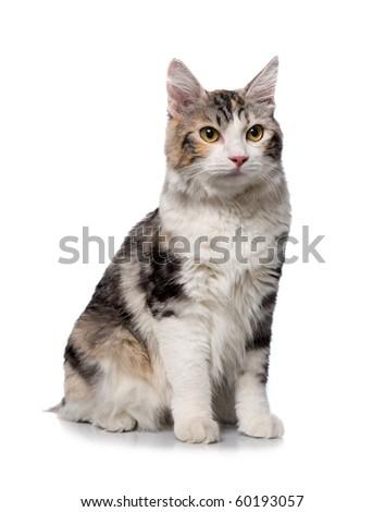 cat on a white background (breed - kurilian bobtail) - stock photo